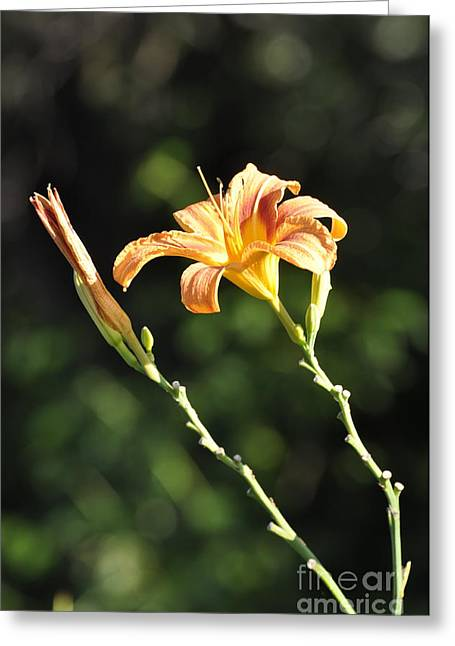 Best Sellers -  - Mahogany Red Greeting Cards - Tasmania Day Lily Greeting Card by Penny Neimiller