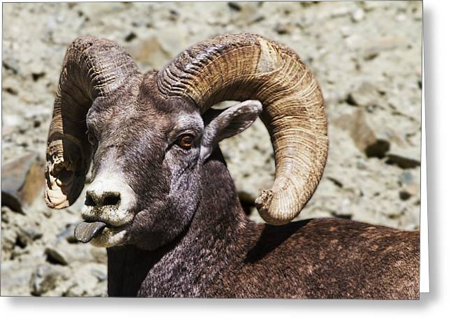Bighorn Greeting Cards - Taunting Bighorn Greeting Card by Mark Kiver