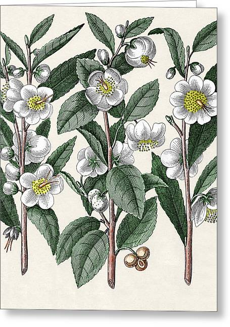Stimulant Greeting Cards - Tea Plant Greeting Card by Sheila Terry