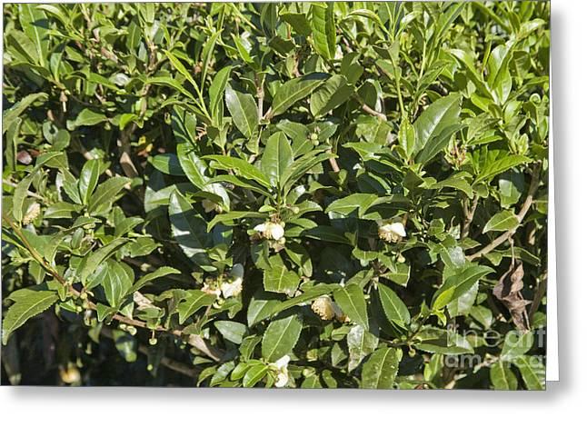 Tea Plants Greeting Card by Inga Spence