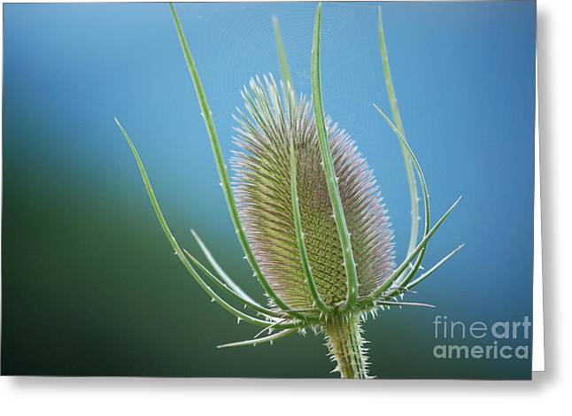 High Virginia Images Greeting Cards - Teasel Sky Greeting Card by Randy Bodkins