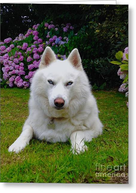 Husky Greeting Cards - Tehya Greeting Card by Anthony Hedger