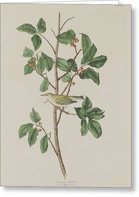 Tennessee Drawings Greeting Cards - Tennessee Warbler Greeting Card by John James Audubon