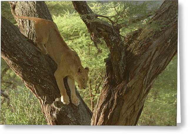 Lioness Greeting Cards - Terengeti Lioness Greeting Card by Joseph G Holland