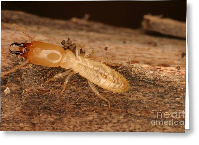 Subterranean Fauna Greeting Cards - Termite Greeting Card by Ted Kinsman
