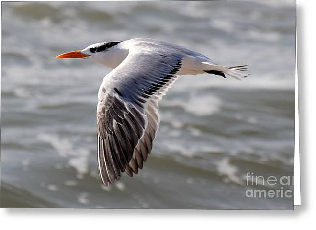 Tern Greeting Cards - Tern at Sea Greeting Card by Tim Sevcik