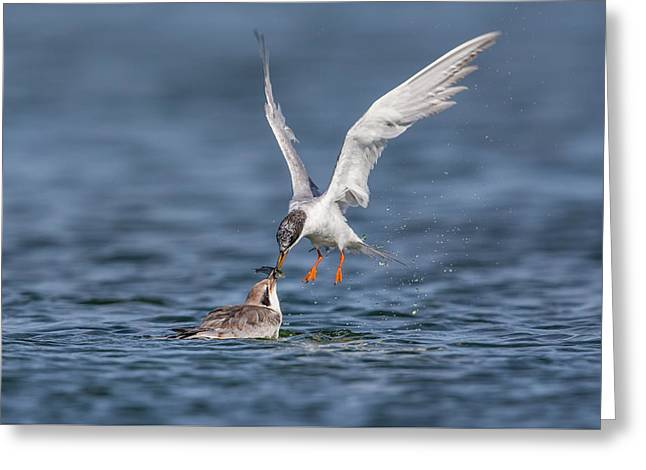 Tern Greeting Cards - Tern Feeding Greeting Card by Phoo Chan
