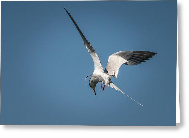 Tern Greeting Cards - Tern Fishing Greeting Card by Janis Knight