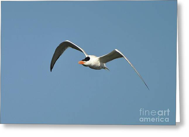 Tern Photographs Greeting Cards - Tern Flight Greeting Card by Al Powell Photography USA