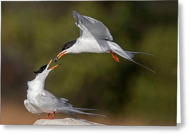 Tern Greeting Cards - Tern Food Exchange #2 Greeting Card by Phoo Chan