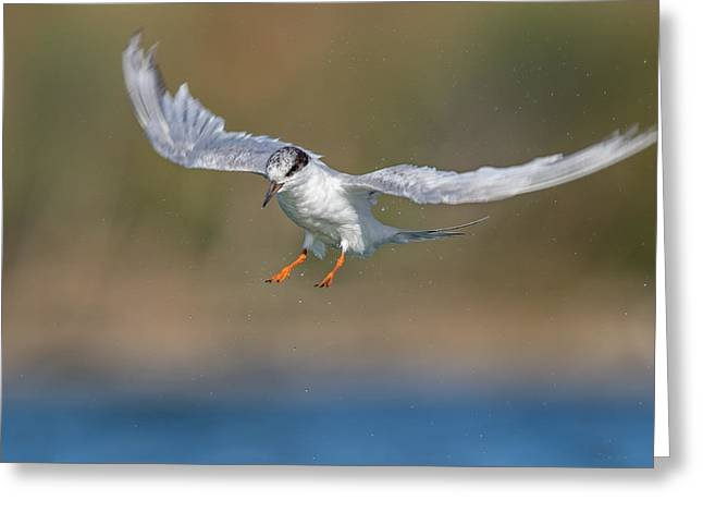 Tern Greeting Cards - Tern Pose Greeting Card by Phoo Chan