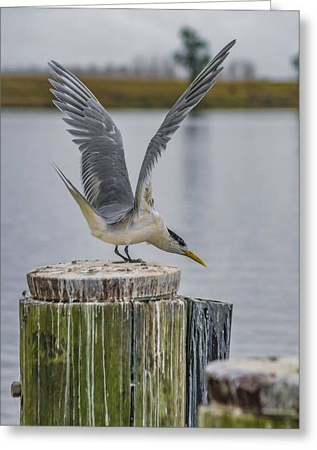 Tern Greeting Cards - Tern Takeoff  Greeting Card by Dion Eames