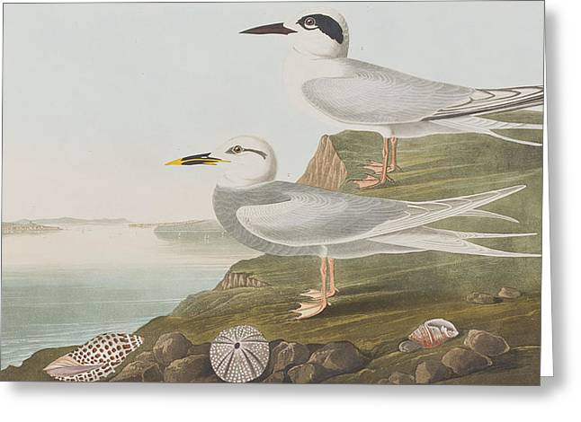 Tern Paintings Greeting Cards - Terns Greeting Card by John James Audubon