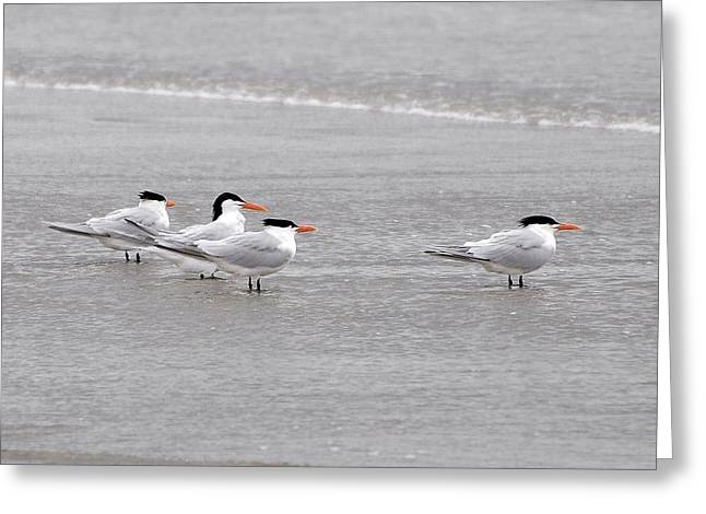 Tern Greeting Cards - Terns Wading Greeting Card by Al Powell Photography USA