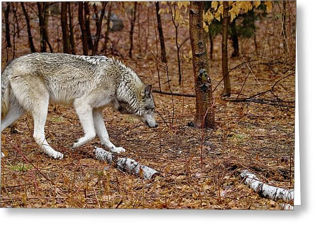 Hairy Wolf Greeting Cards - Territorial Greeting Card by Jim DeLillo