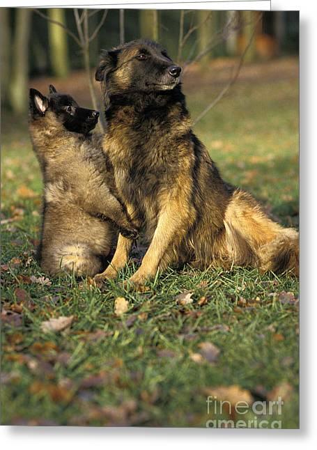 Tervuren Or Belgian Shepherd Dog Greeting Card by Gerard Lacz
