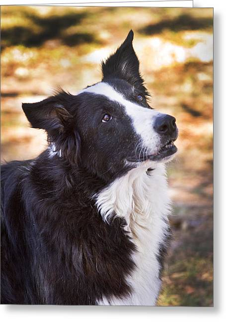 Old Dogs Greeting Cards - Tessie 8 Greeting Card by Rich Franco