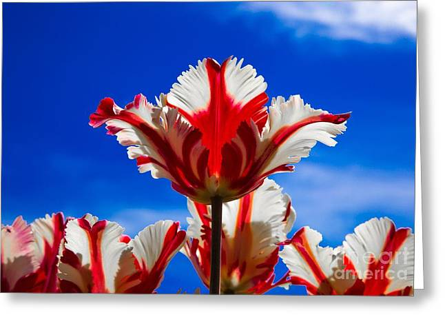 Spring Bulbs Greeting Cards - Texas Flame Parrot Tulip Greeting Card by John Roberts