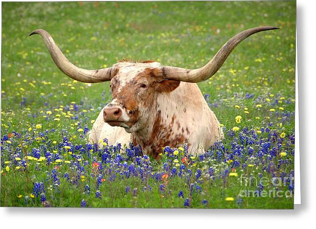 Blues Greeting Cards - Texas Longhorn in Bluebonnets Greeting Card by Jon Holiday