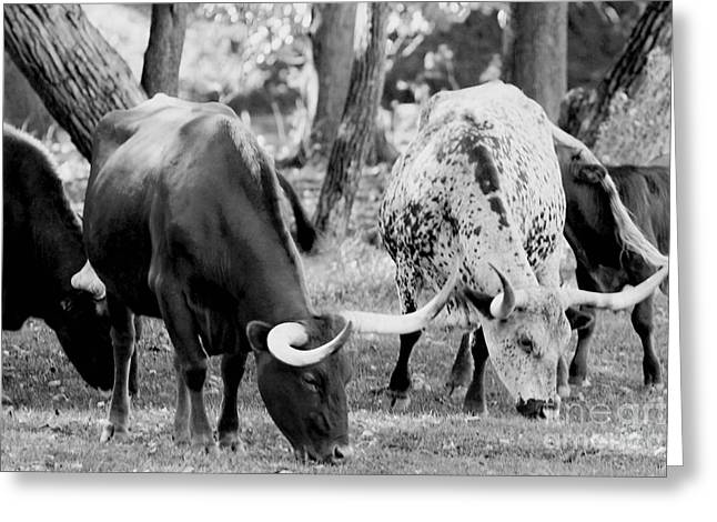 Alan Look Greeting Cards - Texas longhorn steer in black and white Greeting Card by Alan Look