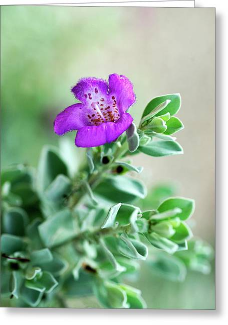 Texas Sage Greeting Card by Bill Morgenstern