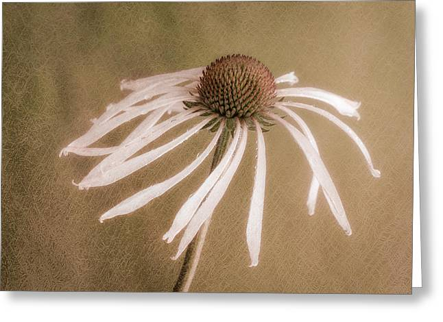 James Barber Greeting Cards - Textured Coneflower Greeting Card by James Barber