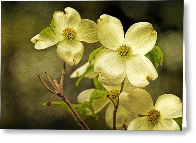 Paint Photograph Greeting Cards - Textured dogwood blossoms Greeting Card by Geraldine Scull