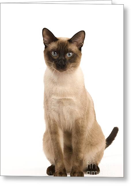 Thai Cat Greeting Card by Jean-Michel Labat