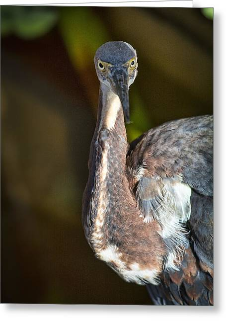 Tri-colored Heron Greeting Cards - That Look  Greeting Card by Saija  Lehtonen