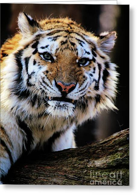 That Tiger Look Greeting Card by Karol Livote