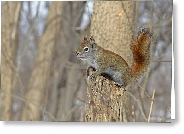 Sciurus Carolinensis Greeting Cards - The American red squirrel Greeting Card by Asbed Iskedjian