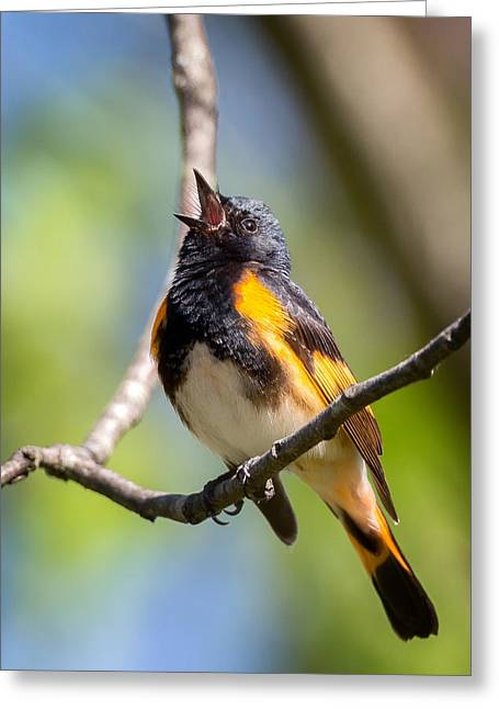 American Redstart Greeting Cards - The American Redstart Greeting Card by Bill Wakeley