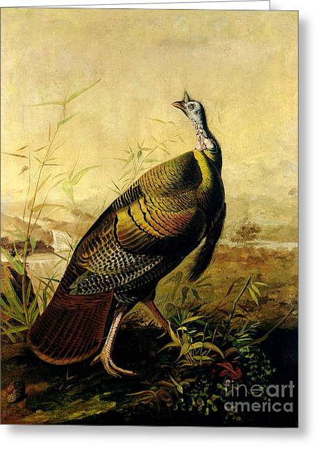 Meleagris Gallopavo Greeting Cards - The American Wild Turkey Cock Greeting Card by John James Audubon