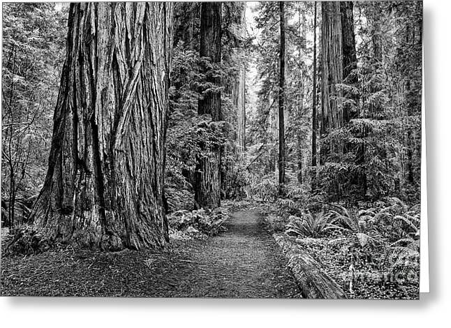 The Beautiful And Massive Giant Redwoods Greeting Card by Jamie Pham