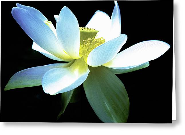 The Beauty Of A Lotus Greeting Card by Julie Palencia