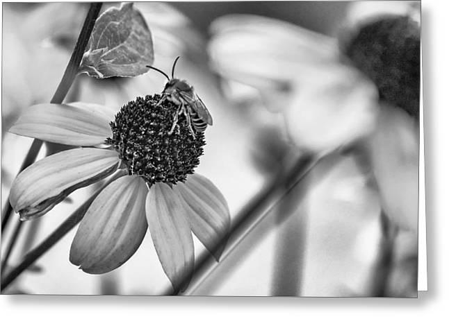 Black Eyed Susan Print Greeting Cards - The Best Gardener - bw Greeting Card by Steve Harrington