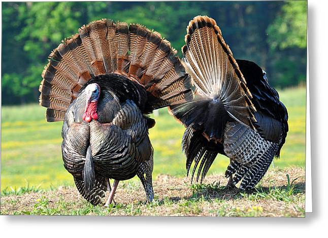 Spring Gobbler. Greeting Cards - The Boys Greeting Card by Todd Hostetter