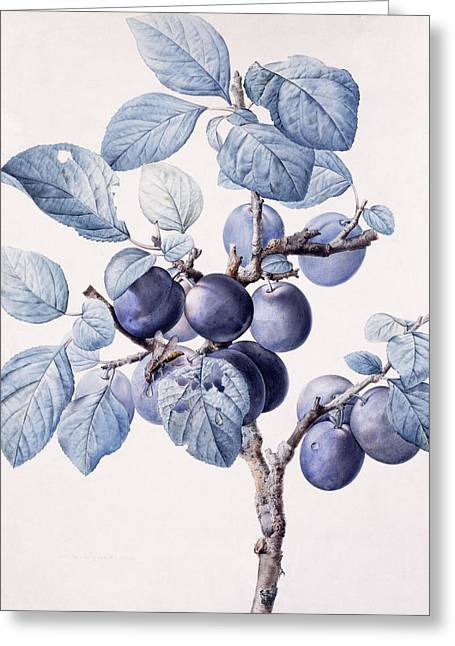 Blue Grapes Drawings Greeting Cards - The Branch of a Plum Tree Greeting Card by Pierre Joseph Redoute
