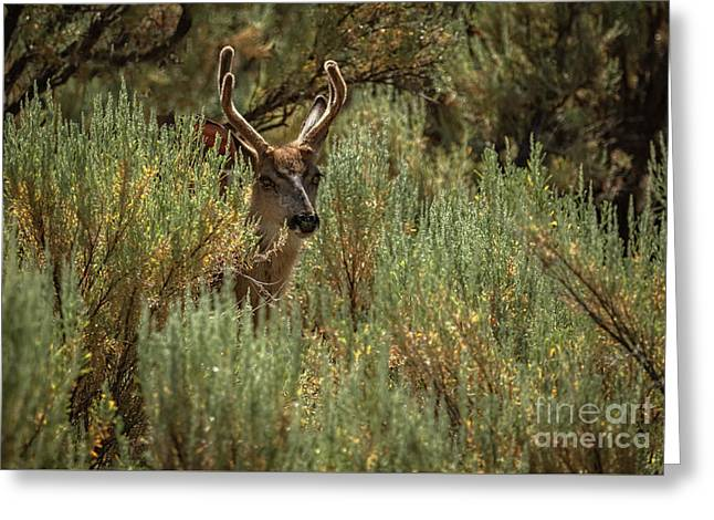 The  Buck  Greeting Card by Robert Bales