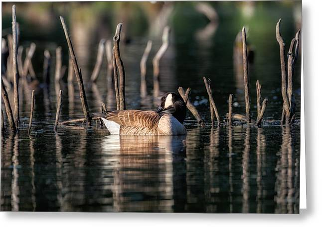 Geese Greeting Cards - The Canada Goose Greeting Card by Bill Wakeley