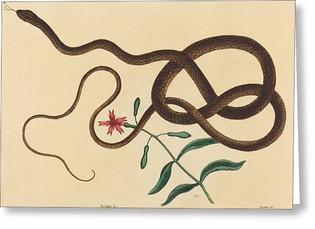 The Coach - Whip Snake - Colluder Flagellum Greeting Card by Mountain Dreams