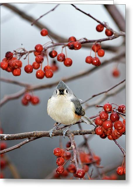 Tufted Titmouse Greeting Cards - The Color Red Greeting Card by Betty LaRue
