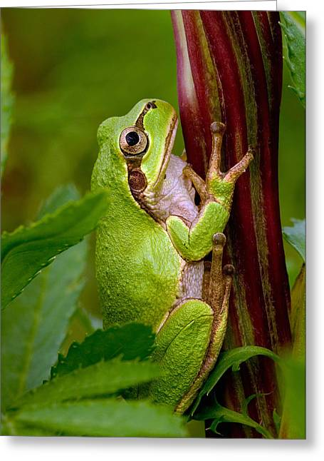 Tree Frog Greeting Cards - The Colorful Japanese Tree Frog Greeting Card by Masaki Ikeda