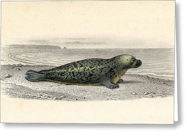 Seal Drawings Greeting Cards - The Common Seal, Drawn By Edouard Greeting Card by Ken Welsh
