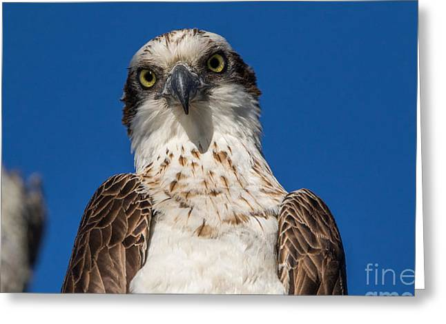 Kite Greeting Cards - The Curious One Greeting Card by Jay Wolf