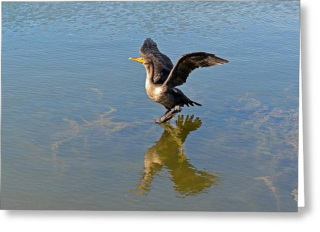 Printed Greeting Cards - The Double-crested Cormorant Greeting Card by Asbed Iskedjian
