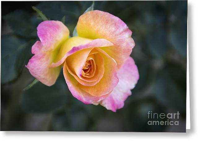 Close Focus Floral Greeting Cards - The Elvis Rose Greeting Card by Janice Rae Pariza
