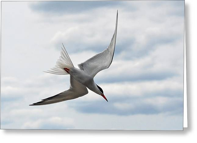 Beach Greeting Cards - The fishing Common Tern. Greeting Card by Asbed Iskedjian