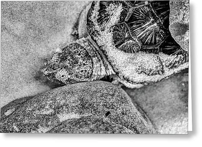 The Florida Snapping Turtle Greeting Card by JC Findley