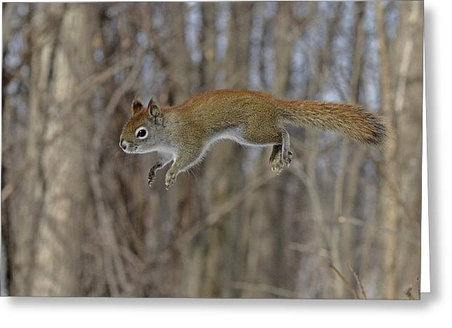 Sciurus Carolinensis Greeting Cards - The Flying American Red Squirrel Greeting Card by Asbed Iskedjian